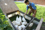 Mark Johnson, 15, feeds some of the family chickens in the backyard early Labor Day morning.  ...