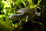 (Denver, Colo.,  Sept. 21, 2004)  Reimann's Snake-Necked Turtles, a very rare species discovered...