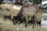 Elk graze near the Fall River Entrance Station in Rocky Mountain national park Monday February 18,...