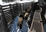 A herd of calfs run into holding pens,Tuesday morning, February 19, 2008, Chief Hosa. Calfs from...