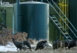 MJM525   Wild turkeys stroll by coal bed methane production equipment on the Bosque del Oso State...