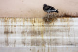 DM0517  A pigeon roosts atop a strip of wirey spikes placed in the Greek Theater to ward off...