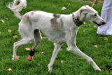 Sally (cq) , a Saluki dog from Kuwait , goes for a walk after a press conference at the Colorado...