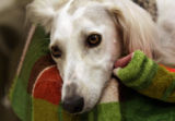 Sally (cq) , a Saluki dog from Kuwait, rests during a press conference  at the Colorado State...