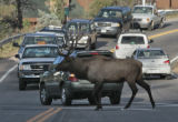 A bull elk holds up traffic on Hwy 74 in Evergreen, while he herds his cows across the road,...