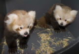 RED PANDA CUBS BORN AT DENVER ZOO  Twin Cubs Pass First Physicals, Expected to Move to Public...