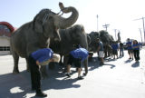Elephant trainers and handlers  for The Ringling Bros. and Barnum and Bailey Circus inspect the...