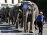 Sonny Ridely, an elephant trainer for The Ringling Bros. and Barnum and Bailey Circus leads ...