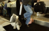 "(DENVER, Colo., January 3, 2005) A traveler steps over ""Jessie"" an Old English Sheepdog..."