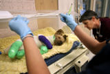 (PG15356) At Wheat Ridge Animal Hospital, Jackie Connors (arms shown) and Beth Heaton monitor Bobo...