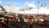 Jan 14, 2003- Cattle wait in holding area outside the Swift & Company Meat Packing Plant in...