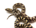 Large gopher snake, also known as bull snake on a white background