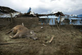 At Brown Cow Dairy some of their livestock died during the storm in Windsor, Colo. on Thursday May...