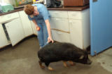 Tallon Nightwalker, 12, feeds apple to a rescued pot bellied pig at the Larimer Humane Society in...