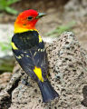 Western Tanager (Male), Cabin Lake Viewing Blinds, Deschutes National Forest, Near Fort Rock,...