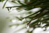 Droplets of water roll off needles of an evergreen tree at Jenny Lake in Grand Teton National...