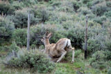 Mankind and nature often intersect as with this mule deer crossing under barbed wire fense....