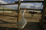 DM0539  Cheech the goose is one of many animals that live on Robin and Jay Davis' equestrian...