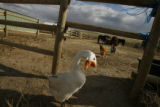 DM0540  Cheech the goose is one of many animals that live on Robin and Jay Davis' equestrian...