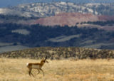 2004/4/26 Livermore, Colo.,-An antelope (check!) runs along County Road 80 near Livermore Monday...