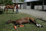 SJU314 - A thoroughbred who suffers an intestinal obstruction rests on the grass at the veterinary...
