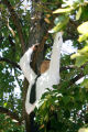 DM0319   Lt. Jon Priest with the Denver Police department climbs into a tree as he investigates...