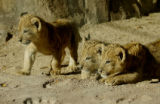 (DENVER Colo., October 22, 2004) Denver Zoo's three new lion cubs are now out for public viewing...