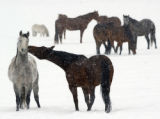 (Clark Colo., 1/16/05)  -  The horses at The Home Ranch;  on Rd 129 northwest of Steamboat Springs...
