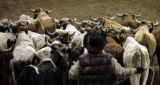 (Shot in Denver, CO  on 01/03/2005 ) A cowboy herds steer toward their pens after a round of...