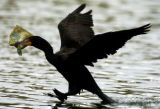 A Double-crested Cormorant takes off from Duck Lake, which is in City Park - Denver, after finding...