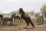 Adams County resident Wayne Muhler's Iberian horses on his property on April 25, 2005.  He and his...