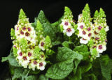 SH05E194YARDSMART May 16, 2005 _ Short stature and subtle flower colors add elegance to Verbascum...