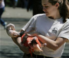 Zookeeper Jessica Meehan tangos at the Denver Zoo with a flamingo biting her sleeve as she carries...