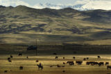 2004/4/26 Livermore, Colo.,-A rancher herds cattle on property just west of Highway 287 at County...