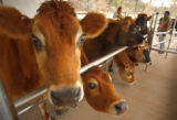 [(Durango, CO, Shot on: 11/23/04)]  Dairy cows wait to be checked by Dan James who uses the cows...