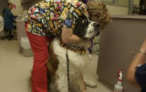 (WHEATRIDGE, Colo., December 1, 2004) Big Mac, a 175 lb St Bernard is held by Kimberly Cook. He...