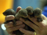 (Denver, Colo., December 16, 2004)  Four African Banded mongoose newborns that were born Nov. 29,...