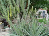SH04F097YARDSMART June 7, 2004 _ In the garden, aloe vera develops large clumps by producing...