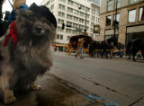 "(DENVER, CO., JANUARY 11, 2005)  All dressed up to rodeo, ""Timmie"" a Keeshond owned by..."