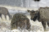 Elk graze during a light snowstorm in Rocky Mountain National Park, Monday afternoon April 24,...
