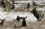 Elk bed down during a light snowstorm in Rocky Mountain National Park, Monday afternoon April 24,...