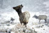 A young bull elk looks like he is catching snowflakes on his tongue during a light snowstorm in...