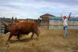 Richard Becker, cq, a cattle operator near LaSalle, chases bulls into a pen after vaccinating them...
