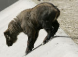 Binggao, a seven-week old, 43 pounds baby Mishmi takin (Mish-mee Taw-kin) climbs on a retaining...
