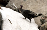 THIS IS A TEST!!!  A wild turkey runs across the snow in Moraine Park at Rocky Mountain National...