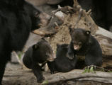 At the Denver Zoo, May 3, 2006 in Denver, Colo. three little bears made their debut. These cubs...