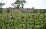 A field worker drives up and down rows of vines at the Canyon Wind Cellars in Palisade located at...