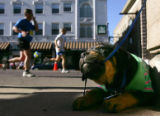 Tanner, a rottweiler puppy, chews on his leash as runners jog past in the Post-News Colorado...