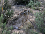 A jack rabbit lowers his ears and hides  near Chivington , Colorado on May 5,2006. While not...