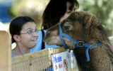 Denver, CO May 28, 2006 Meghan Cahow, 12, of Longmont, mugs with Abu, a 10-month old dromedary...